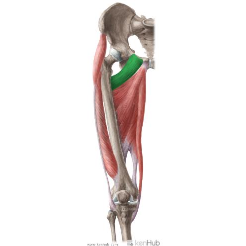 Muscules Pectineus
