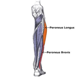 peroneus_muscles1